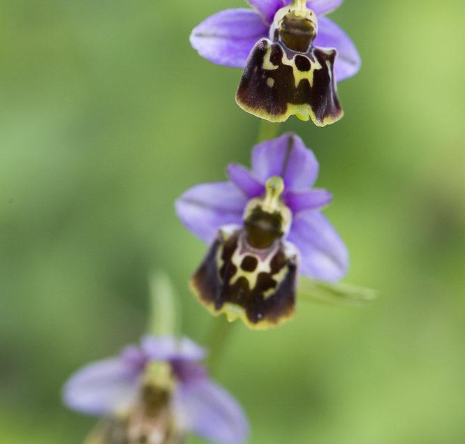 Orchidée de Suisse