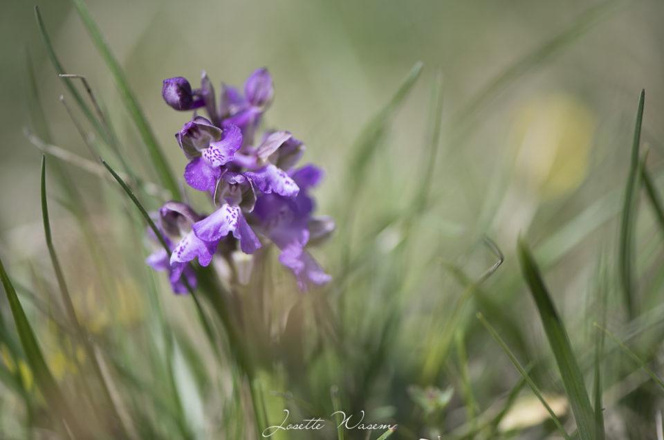 Fleur du Jura