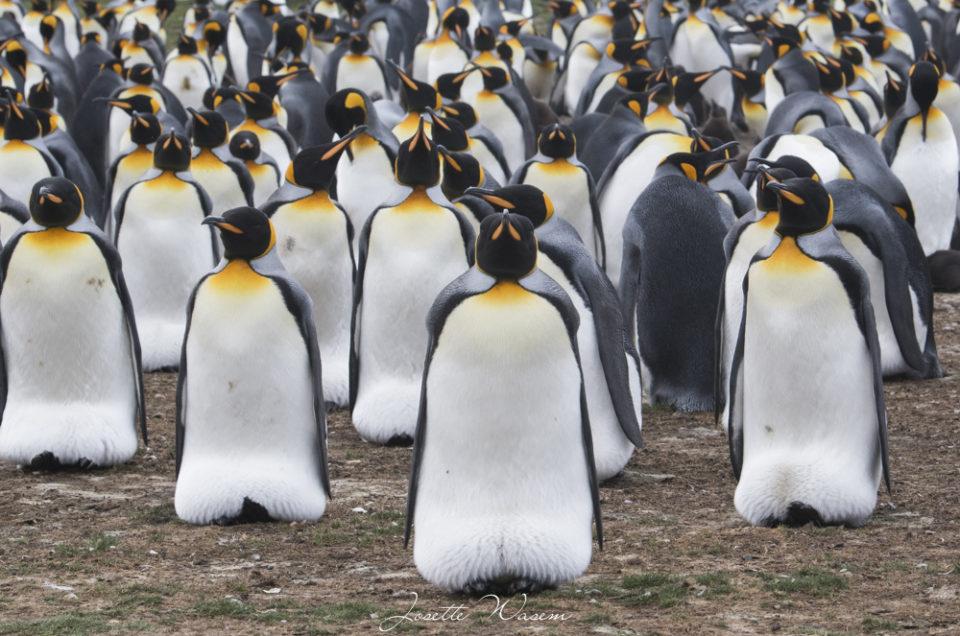 Galerie Iles Falkland